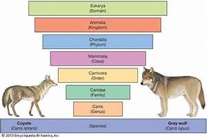 gray wolf | mammal | Britannica.com