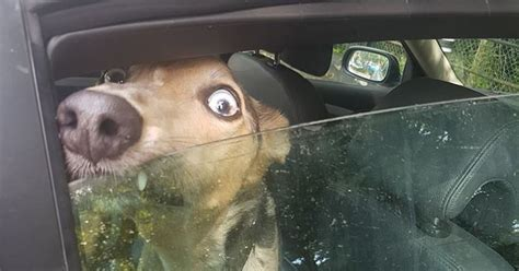 dog spotted crying  howling locked  hot car