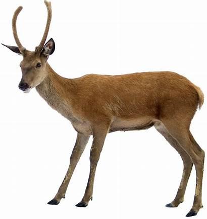 Deer Transparent Background Clipart Highway Clip Antelope