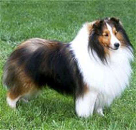 adopt  shetland sheepdog dog breeds petfinder