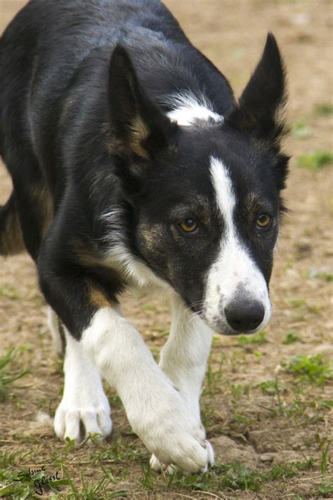 border collie ii