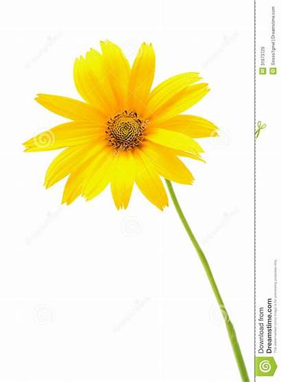 Yellow Background Flower Isolated Royalty