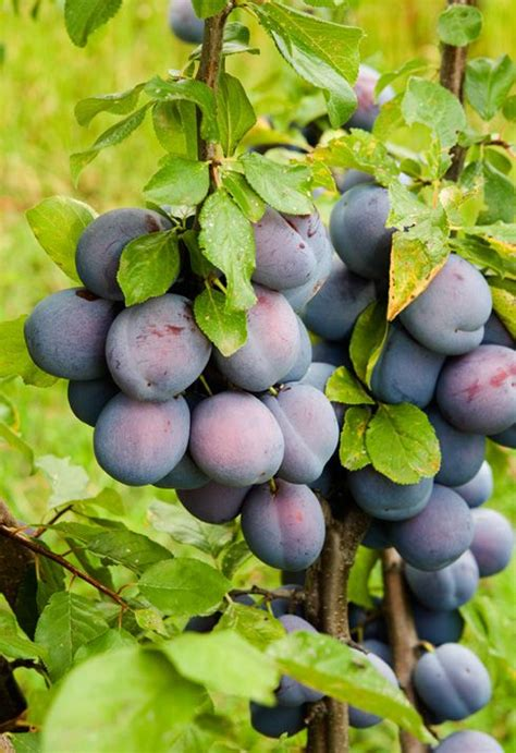 small purple plum growing plums green grocer pinterest