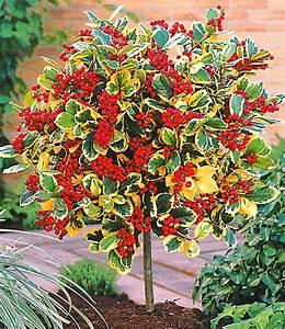 Kübelpflanzen Für Schatten : ilex st mmchen 39 golden king 39 k belpflanzen bei baldur garten ~ Eleganceandgraceweddings.com Haus und Dekorationen