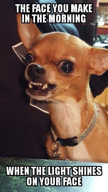 chihuahua meme funny chihuahua funny chihuahua puppies