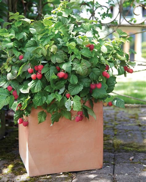 grow raspberries in a pot how to grow raspberries from seeds plant instructions