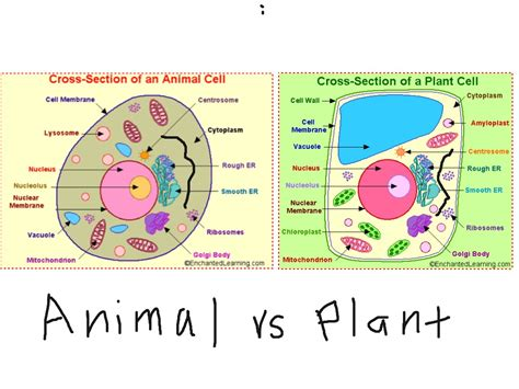 Plant Cell Vs Animal Cell Showme