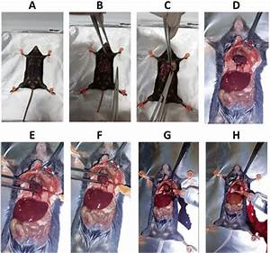 Perfusion Procedure    A   Place The Mouse On Its Back And