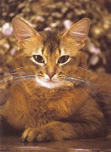 27 best images about Beautiful Somali Cat Photography on ...