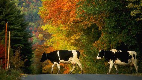 fondos de pantalla de vacas wallpapers hd