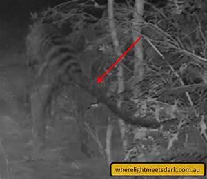 Ellendale thylacine 2016