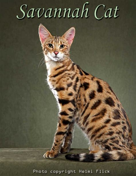 Savannah Cat Photograph