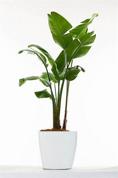 Indoor Paradise Bird Plants Tree Strelitzia Banana