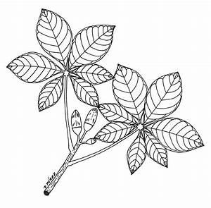 Leaves,line Drawing - ClipArt Best