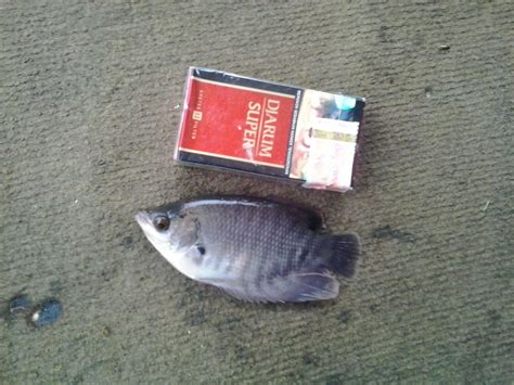 Distributor Peternakan Ikan Gurame jual bibit ikan gurame harga murah depok oleh lucky