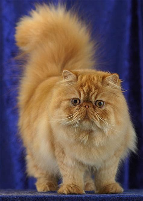 persian cat wiktionary