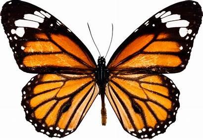 Butterfly Orange Butterflies Wings Transparent Background Tattoo