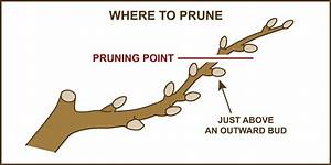 Pruning Fruit  U0026 Nut Trees  U00bb Planting  U0026 Care  U00bb Tomorrow U0026 39 S