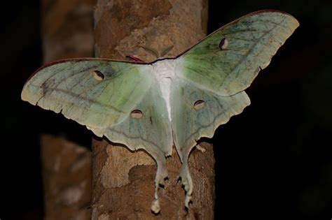 indian moon moth  drenched  fly walk  wilderness