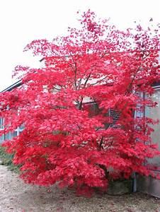 Japanischer Ahorn Im Kübel : japanischer f cherahorn 39 osakazuki 39 acer palmatum ~ Michelbontemps.com Haus und Dekorationen