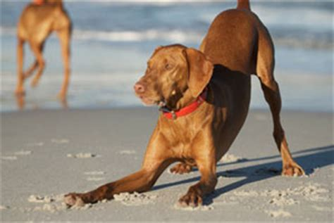 Do Wirehaired Vizslas Shed by Image Gallery Vizsla Shedding