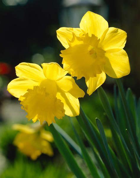 top  daffodils    love  longfield gardens