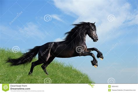 black horse playing   field stock image image