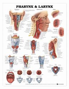 Pharynx  U0026 Larynx Anatomical Chart