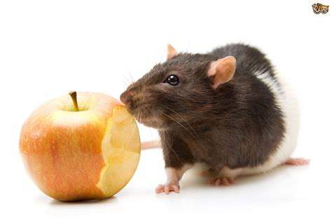 rat cuisine foods that are and are not safe for a pet rat pets4homes