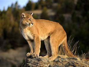 4-Year-Old Girl Attacked by Mountain Lion While Camping ...