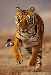 Images For > Bengal Tiger Running