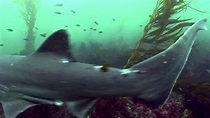 La Jolla Cove Sharks - YouTube