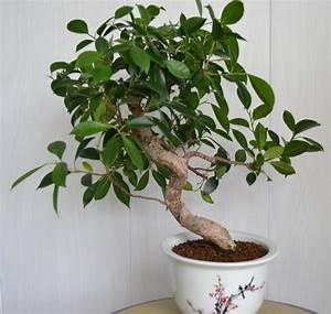 Comment Tailler Un Ficus : entretenir un ficus comment entretenir un ficus par ~ Melissatoandfro.com Idées de Décoration