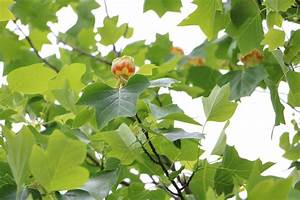 Baum Pflanzen Anleitung : tulpenbaum liriodendron tulipifera alles ber pflege und schneiden ~ Frokenaadalensverden.com Haus und Dekorationen