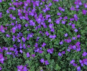 Purple Ground Cover Flowers   Love Em!   Laura Nolph   Flickr