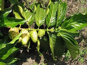 QUINTAIS IMORTAIS: Noni (Morinda citrifolia, Rubiaceae) Morinda