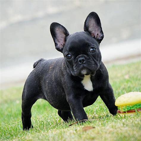 Tudo Sobre A Raca  Ee  Bulldog Ee   Frances Tudo Sobre Cachorros