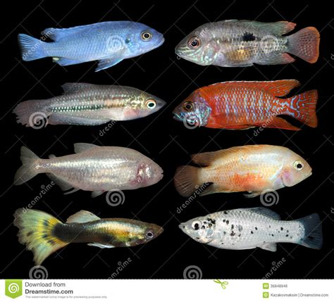 ensemble de poissons d aquarium sur le fond noir image libre de droits image 36848946