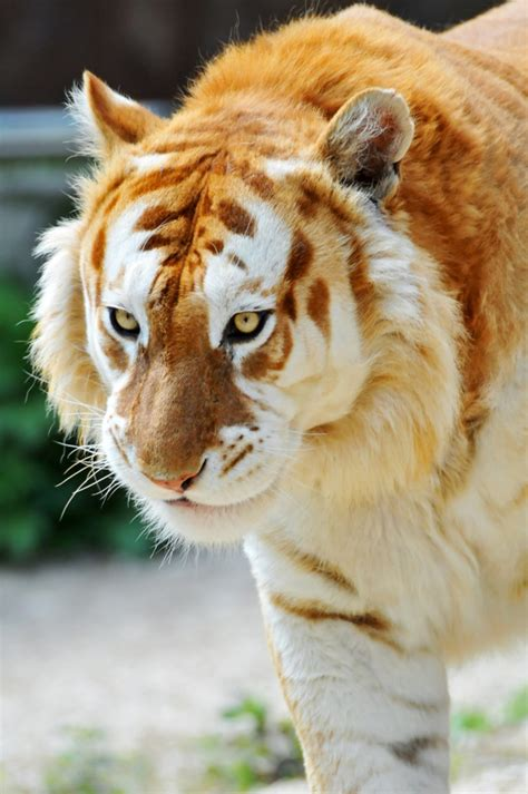 The Extremely Rare Majestic Golden Tiger Less Than