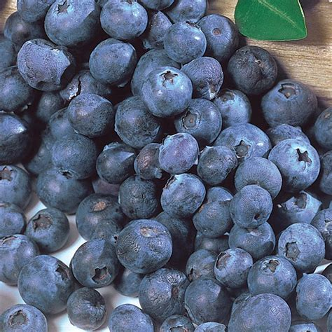 what can you make with blueberries baker s blueberry plant collection blueberry plants stark bro s