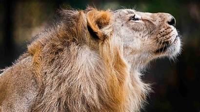 Lion Animal Shoot Animals Wallpapers Resolution Wild
