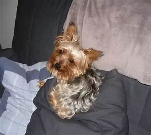 What does a full-grown teacup Yorkie look like? - Quora