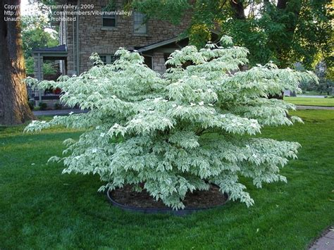 cornus kousa wolf eye chinese dogwood  compact variegated
