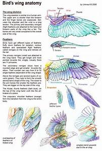Bird Wing Diagram This Is Nice For Drawing