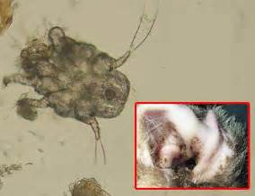 Ear Mite Infection in Cats