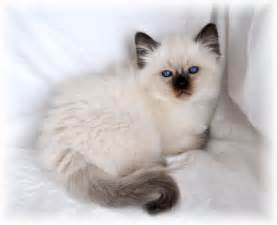 balinese cat balinese cat breeders cats kittens cats and kittens