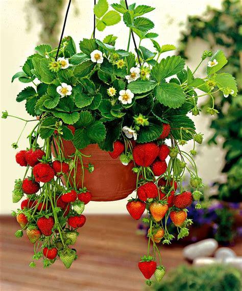 planter des fraisiers en pot planter des fraisiers jardiner avec jean paul