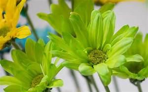 Lime Green Flower Rose Wallpapers