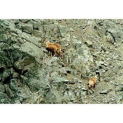 Wild Chamois doe yearling and kid amongst high alpine