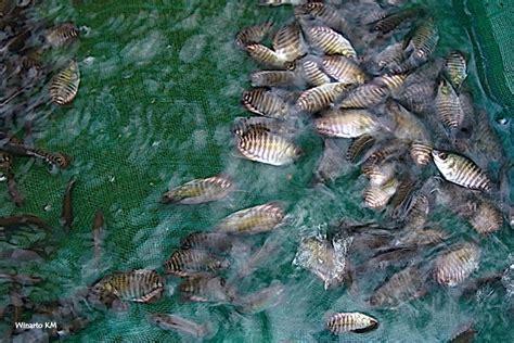 Bibit Ikan Gurame Salatiga cara mudah budidaya ikan gurame untuk pemula satu jam
